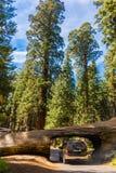 Tunnel-Klotz, riesiger Wald, Kalifornien USA Lizenzfreie Stockfotos
