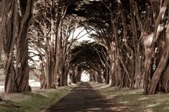 A tunnel like row af trees. A country road with tall trees on both sides Stock Photos