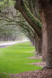 Tunnel of Live Oak Trees. Live Oak trees offer a mossy tunnel down a road Stock Image