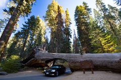 Tunnel Log in Sequoia National Park. A car drives thru the famous Tunnel Log in Sequoia National Park, California, USA Stock Photography