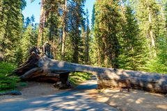 Tunnel Log in Sequoia National Park. Tunnel 8 ft high, 17 ft wide.  California, United States royalty free stock photos
