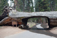 Tunnel log in the Sequoia park Stock Image