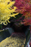 Tunnel maple ginkgo red yellow leaves in autumn Royalty Free Stock Photo