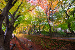Tunnel maple ginkgo red yellow leaves in autumn Royalty Free Stock Photos