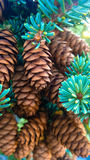 Tunnel mointain pine cones Royalty Free Stock Photos