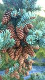 Tunnel mointain pine cones Stock Photo
