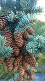 Tunnel mointain pine cones Royalty Free Stock Image