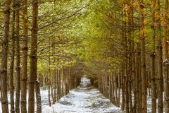 The tunnel of pine trees Royalty Free Stock Images