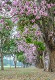 Tunnel rosa dell'albero del fiore Fotografia Stock Libera da Diritti