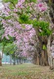 Tunnel rosa dell'albero del fiore dell'albero di tromba Immagine Stock