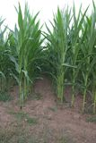 Tunnel between rows of corn maize, Zea mays. Tunnel between parallel rows of nearly fully grown and still green corn maize, Zea mays Stock Images
