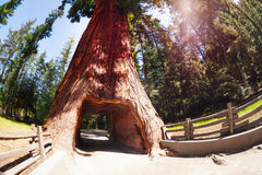 Tunnel through sequoia in Redwood National Park. Tunnel through the huge sequoia tree in the Redwood National Park in California, USA Stock Images