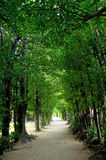 The tunnel of the trees. In Okinawa, Japan. It is called Fukugi Namiki Royalty Free Stock Image