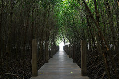 Tunnel of trees in the mangrove forest. Wooden path and the tunnel of trees in the mangrove forest Royalty Free Stock Photos