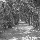 Tunnel of Trees Mono Stock Photography