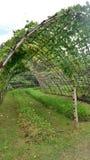 Tunnel vert de vigne au jardin d'arrière-cour image libre de droits