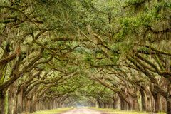 Tunnel von Live Oak Trees stockfotos