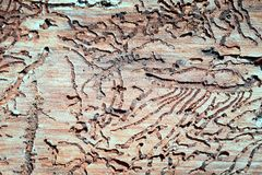 The tunnels of the bark beetle. Form a bizarre pattern under the bark stock image