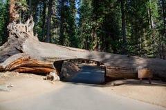 Tunnelträd i sequoianationalpark Arkivfoto