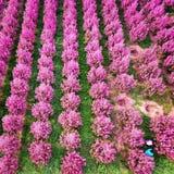 tunnländer av begonian blommar i det Shaanxi landskapet Kina Fotografering för Bildbyråer