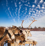 Tuor on northern deer Royalty Free Stock Photo