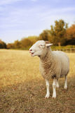 Tup Stock Images