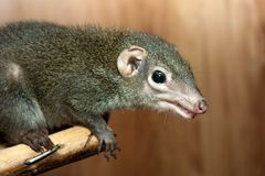Tupaia glis. Tree shrew rodent animal fur squirrel Royalty Free Stock Photos