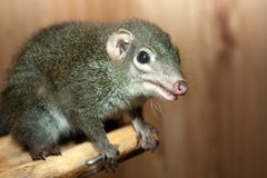 Tupaia glis. Tree shrew rodent animal fur squirrel Royalty Free Stock Images