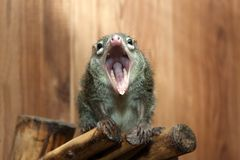 Tupaia glis. Tree shrew rodent animal fur squirrel Stock Photo