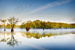 Tupelo Gums and Overhead Ducks royalty free stock image