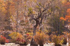 Tupelo wetland Merchants Millpond NC State Park US. Fall colors of Water Tupelo, Nyssa aquatica, and Cypress tree, Taxodium distichum, in Merchants Millpond Royalty Free Stock Photos