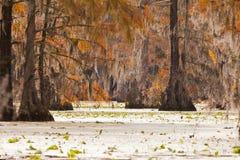Tupelo wetland Merchants Millpond NC State Park US. Fall colors of Water Tupelo, Nyssa aquatica, and Cypress tree, Taxodium distichum, in Merchants Millpond Stock Photo