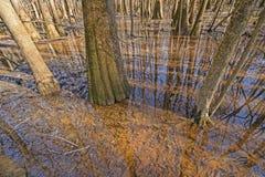 Tupeloträd som växer i våtmarkerna arkivfoton