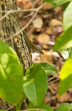 Tupfen-lippiges Skink auf Baumklotz, Kenia, Ostafrika Stockfotos