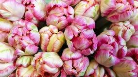 Tupils flowers Stock Image