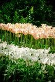 tupils Lirio-florecidos de colores rosas claros y blancos fotografía de archivo libre de regalías