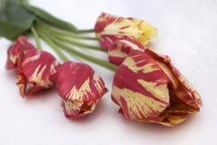 Tupils rossi e gialli Fotografia Stock