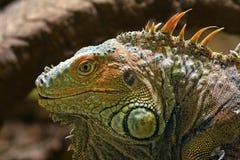 tupinambis ящерицы Стоковые Изображения