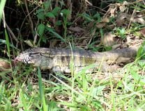 蜥蜴Tupinambis teguixin 库存照片