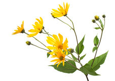 Tupinambo Blume Lizenzfreie Stockfotografie