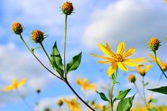 Tupinambo das flores fotos de stock royalty free
