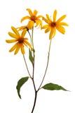 Tupinambo (Sunchoke) Imagens de Stock Royalty Free