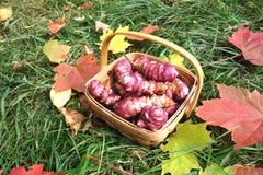 Tupinambos em uma cesta Foto de Stock