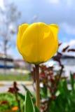 Tuplics amarelo Foto de Stock