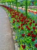 Tuplip trädgård royaltyfria bilder