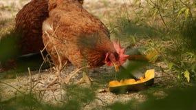Tupp som äter frukter i trädgård arkivfoton