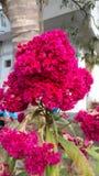 Tuppkammen kinesisk ull blommar, Celosiaargenteaen Arkivbilder