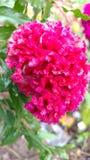 Tuppkammen kinesisk ull blommar, Celosiaargenteaen Fotografering för Bildbyråer