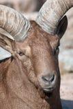 Tur caucasien - (cylindricornis de capra) Images libres de droits