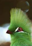 Turaco της Γουινέας Στοκ Εικόνα